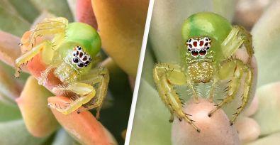 חמוד אבל קטלני: עכביש ירוק עם פרצוף של בנאדם נמצא בחצר פרטית